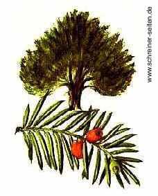 Eibe Baum