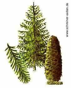 Tanne Baum