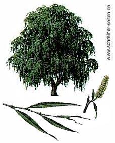 Weide Baum